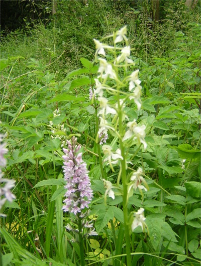 Greater Butterfly and Common Spotted Orchids